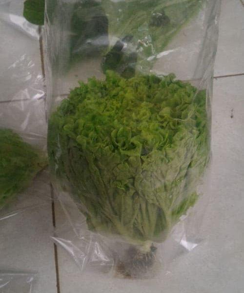 produk-selada (6)